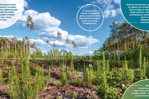 Odnowienie lasu