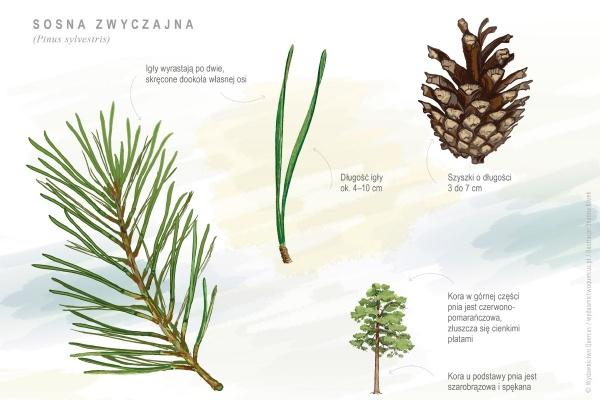 sosna zwyczajna - Pinus sylvestris